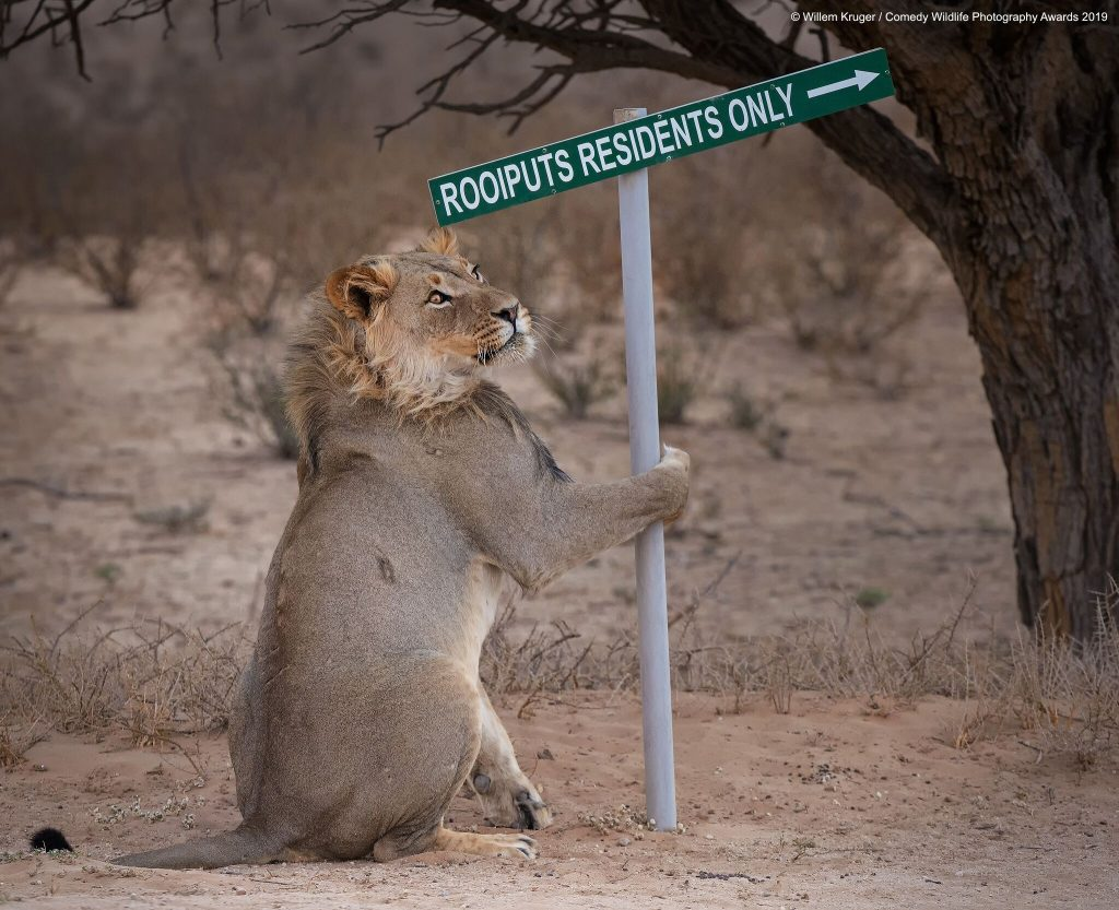 lion funny photo The Comedy Wildlife Photography Awards 2019