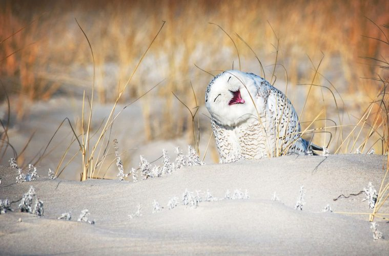 Laughing Snow Owl Comedy Wildlife Photography Awards 2019