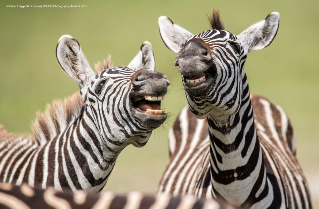 laughing zebras
