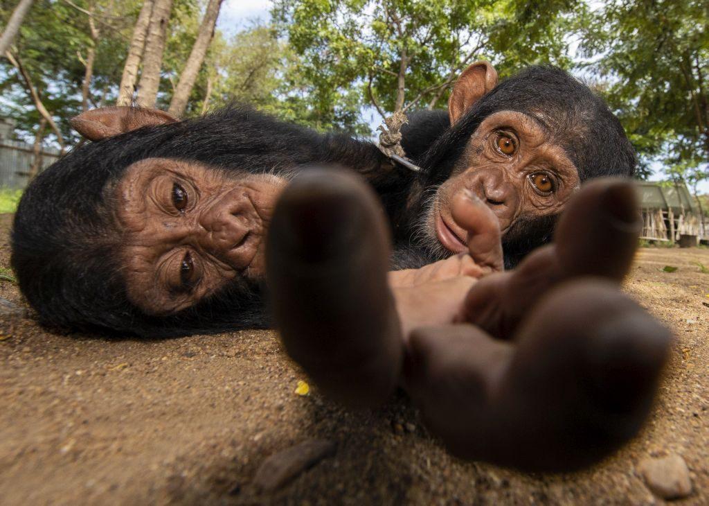 baby chimpanzees monkeys / NPOTY2019