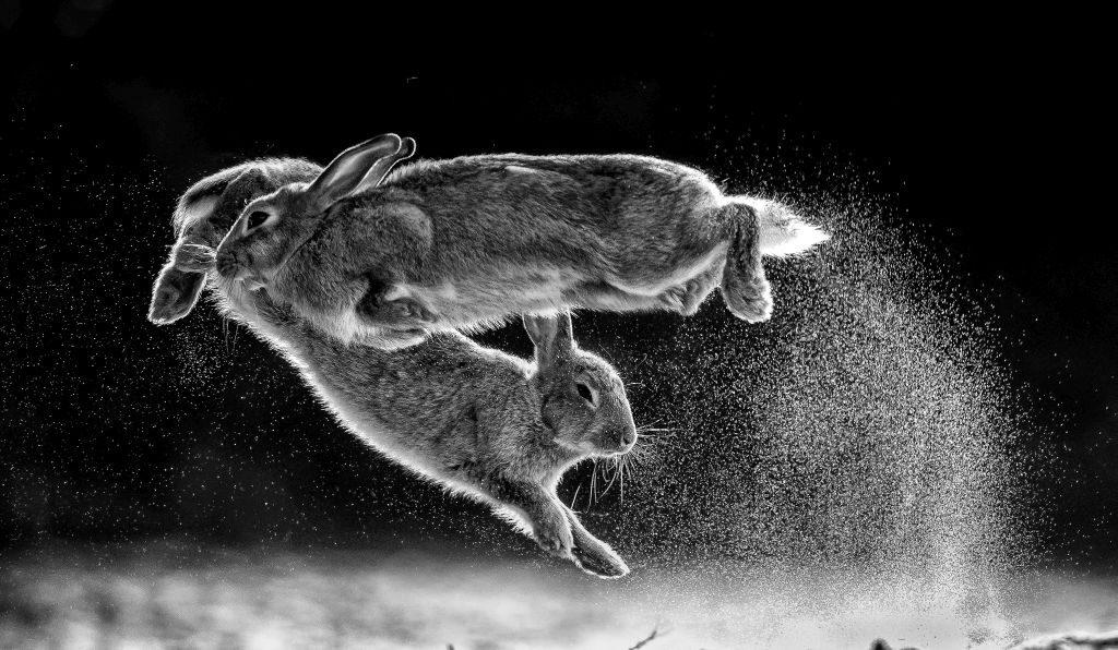 NPOTY 2019_C09_76362_Black and white_winner_Overall winner_Jump_Csaba Daroczi - hares rabbits