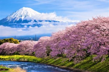 Sakura Mt fuji Japan's Earliest Cherry Blossoms