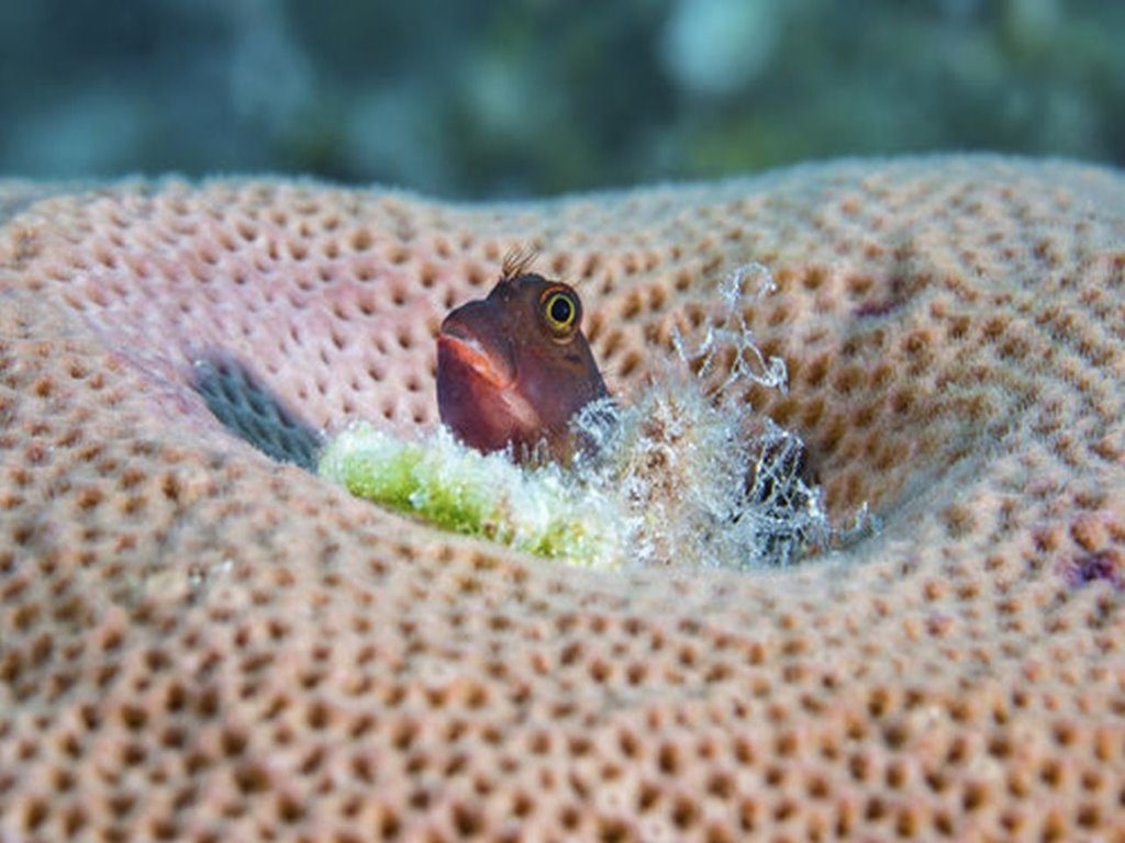 A red lip blenny living in a brain coral, Cuba.