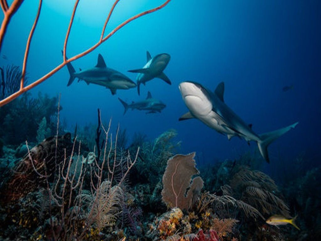 Reef Sharks, Cuba protect coral reefs