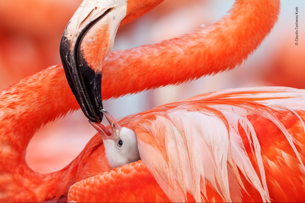 Flamingo Caring for Baby