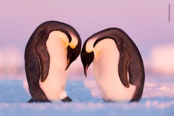 Penguins Training Session wildlife photographer of the year shortlist