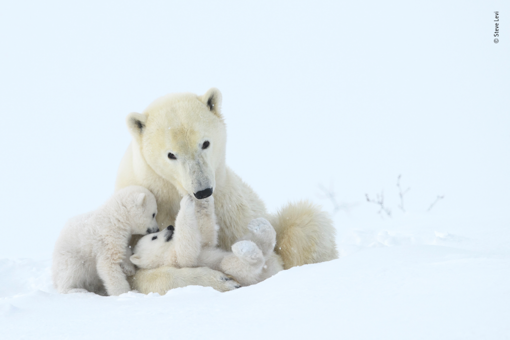 Tender Play Polar Bears