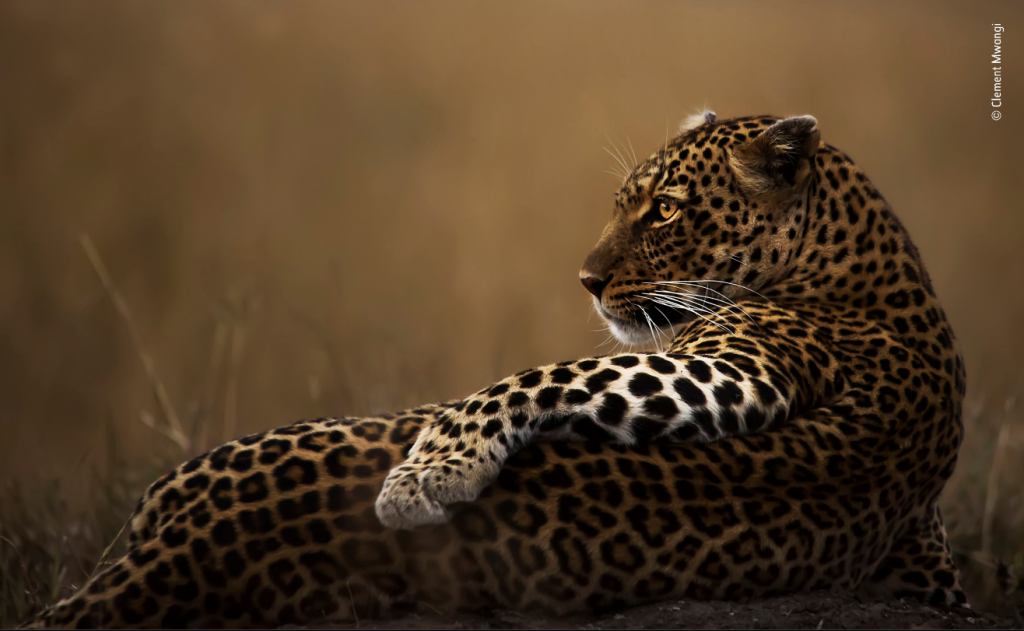 What a Poser Leopard
