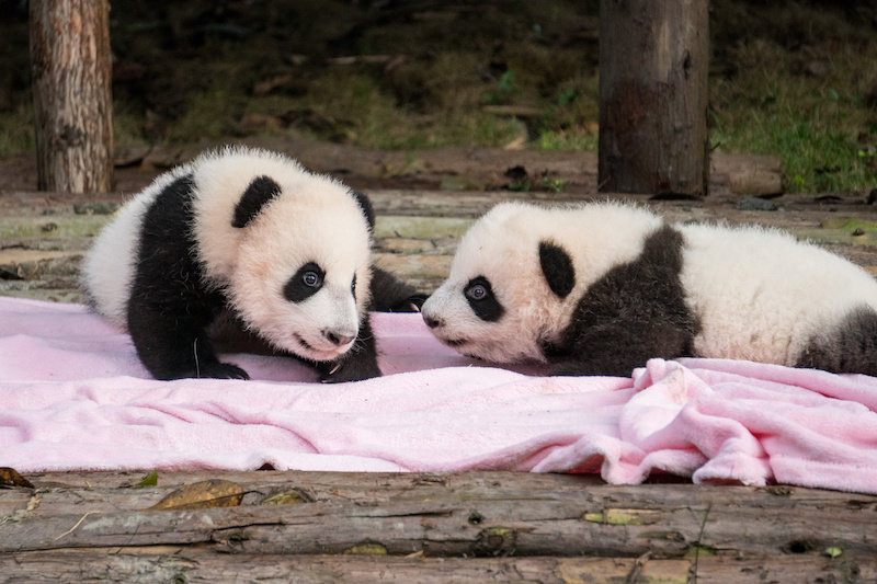 Why are giant pandas born so tiny? - Ecophiles