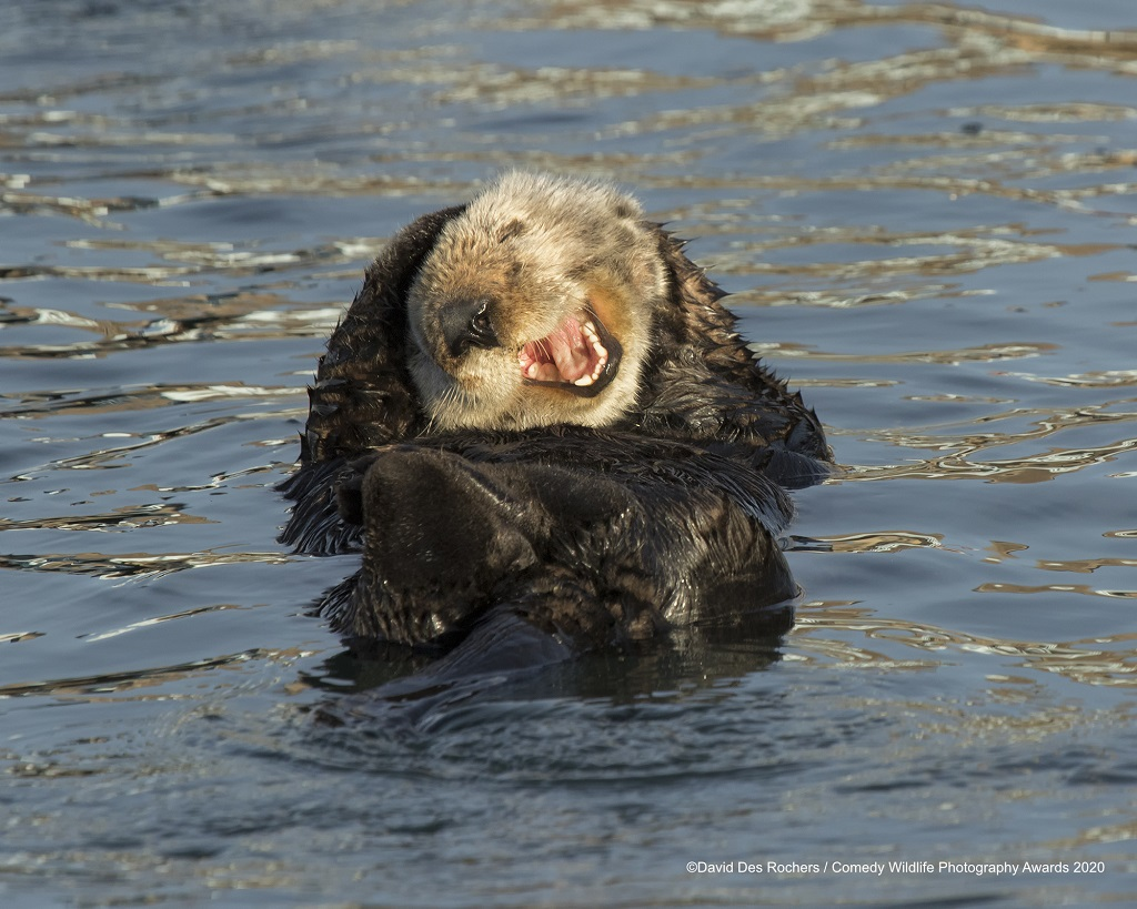 Sea Otter floating in Morro Bay, California funny animal photos