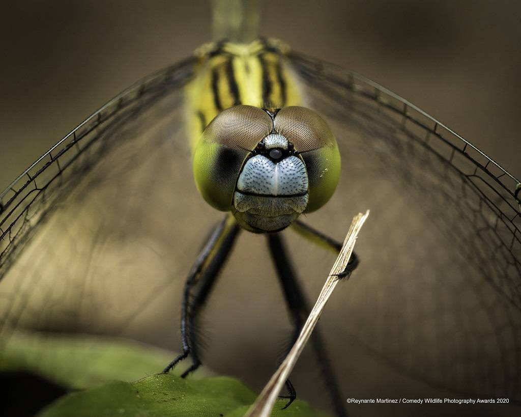 Chalky Percher Damselfly