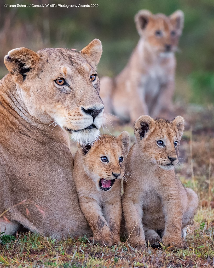 lioness and cubs funny animal photos