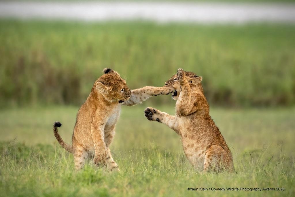 lion cubs Ngorongoro Crater, Tanzania