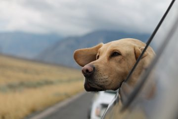 dog in car Pet-Friendly Road Trip best dog-friendly holiday accommodation